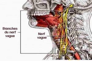 nerf-vague-cerveau-1